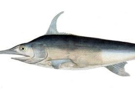 Swordfish1